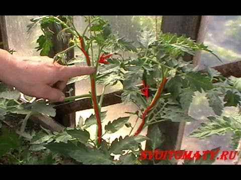 Как ощипать помидоры