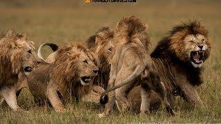 Lion in Action fighting for food شراسة الاسود الجائعة