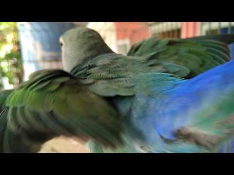 Download LOVEBIRD MUKA SALEM LEPAS LANDAS free