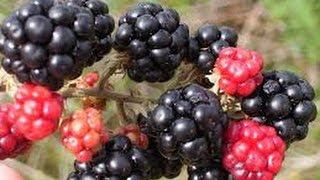 How to Grow Blackberries - TvAgro por Juan Gonzalo Angel