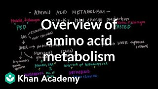 Overview of Amino Acid Metabolism