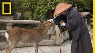 The World's Largest Wooden Temple is Surrounded by Wild Deer   National Geographic