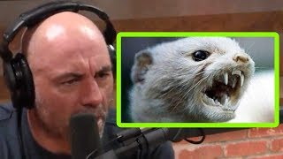 Joe Rogan: Weasels are Badass!