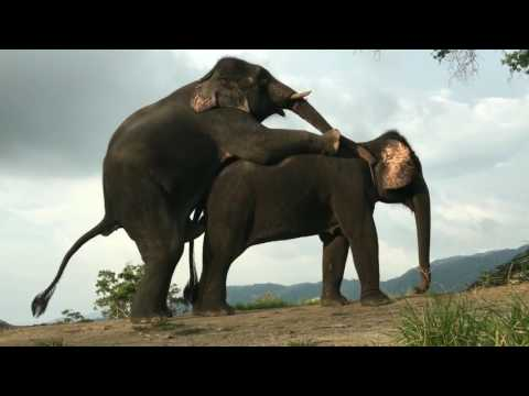 Xxx Mp4 ELEPHANT MATING WITH FEMALE Elephant Mate Breading Video 3gp Sex