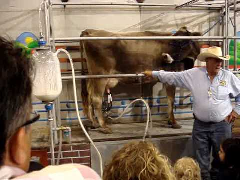 How they milk cows
