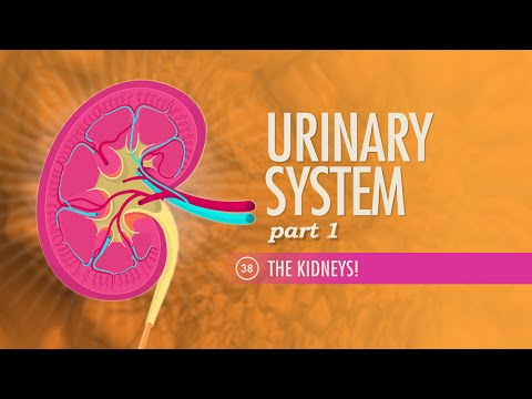 Urinary System, part 1: Crash Course A&P #38