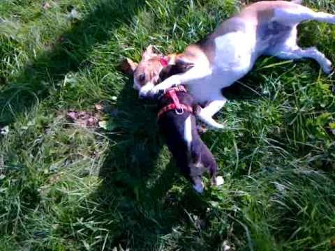 Beagle walki psów