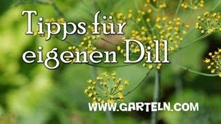 Dill selbst anbauen