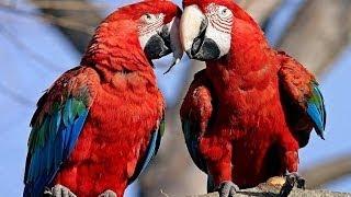 Parrots: Majestic Birds (Nature Documentary)