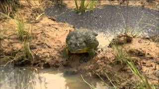 Bullfrog Dad Protects His Tadpoles