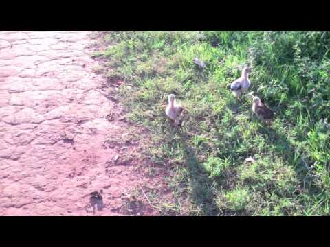 Xxx Mp4 Baby Chickens In Paraguay 3gp Sex