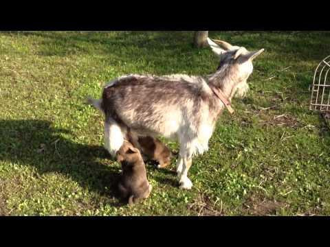ヤギの乳が大� きな子犬たち