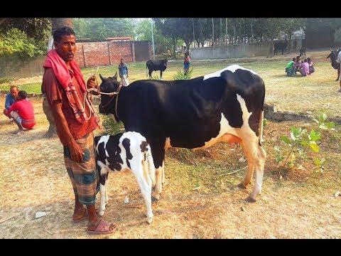 Xxx Mp4 659 Dairy Cow With Calves Market Price কম দামে বাচ্চাসহ গাভি কিনুন ও মূল্যসহ প্রয়োজনীয় তথ্য জানুন 3gp Sex