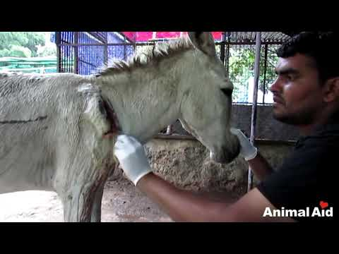 Xxx Mp4 Wounded And Bleeding Donkey Stranded On Highway Rescued 3gp Sex