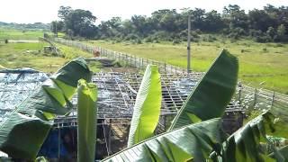 Black bangal goat farm