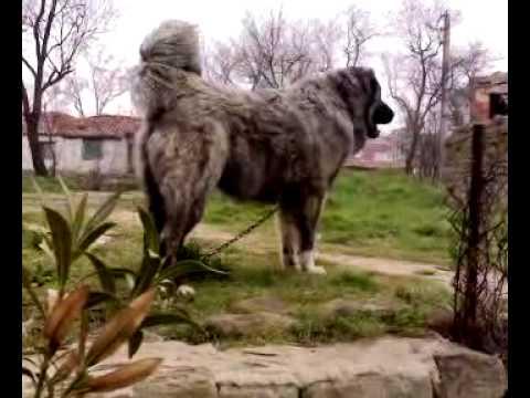kafkas çoban köpeği keşan malkara ipsala caucasian ovcharka pehlivan 10 aylık