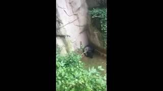 Video gorila harambe, anak kecil jatuh kekandang gorila full video