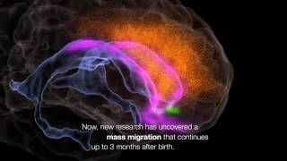 Human Neurons Continue to Migrate After Birth