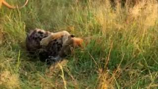Lion vs Hyena *Not for sensitive viewers*