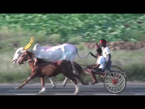 Xxx Mp4 Bull And Horse Cart Race Thapkarwadi KhadaklatOchsenpferderennen 3gp Sex