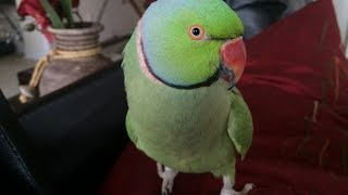 Coco the Talking Indian Ringneck Parakeet (Parrot) Talking, Kissing and being Cute