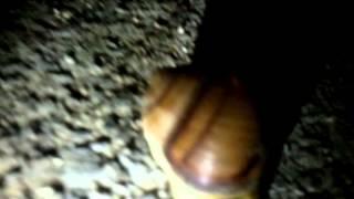 Лягушкоулитко
