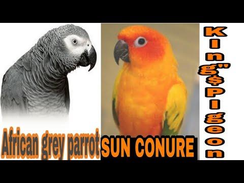 Xxx Mp4 SIYYAD FAZAL MAHMOOD BHAI KE AFRICAN GREY AND SUN CONURE BIRDS AHMDABAD GUJARAT 3gp Sex
