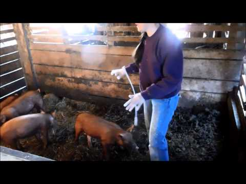 Sow artificial insemination