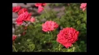 甄妮-夏日玫瑰