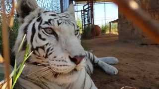 A moment with Bonnie | BEAUTIFUL FEMALE WHITE TIGER