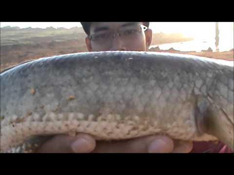 Xxx Mp4 Casting Ikan Haruan Or Snakehead 12 3gp Sex