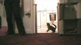 funny cat attack # 2 hopping and jumping on hind legs