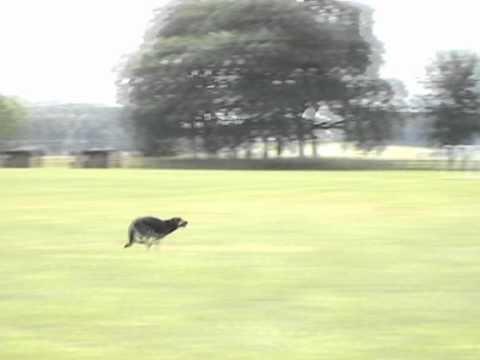 K9 Xena - Very Fast German Shepherd Dog (in slow motion)!!!
