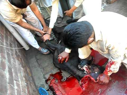 QURBANI OF Bakra IN LAHORE ON 07 11 11