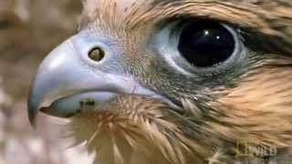عالم الحيوان اقوى افتراس بين الصقر والطيور 2016