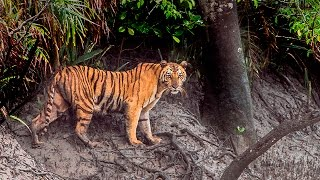 """► """"Sundarban National Park"""", Bangladesh - India - The Largest Mangrove Forest on Earth. [HD]"""