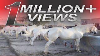 "Horses OF SULTAN UL FAQR ""Asp-e-Sultan اسپِ سلطان ""  Complete Documentary"