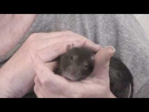 Pet rat hiccups, bandaid, kisses! Chancy [