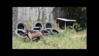 Holandský ovčiak - Broke 1.8.2013