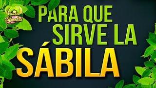 Para Que Sirve La Sabila - Propiedades, Beneficios Y Contraindicaciones De La Sabila (Aloe Vera)