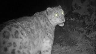 Snow leopard recorded roaming in the wild of Urumqi