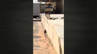 Epic Cat catches Pigeon with Jump