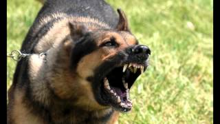 Download Large Dog Growling Sounds Effects MP3