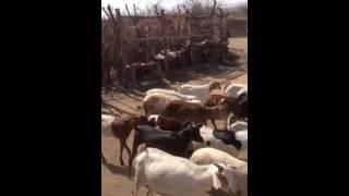 Danse massai Tanzanie 2014
