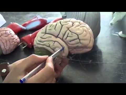 Xxx Mp4 Anatomy Cerebral Hemisphere Superolateral Surface 3gp Sex