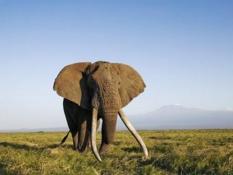 Xxx Mp4 Africa 39 S Elephant Kingdom HD 3gp Sex