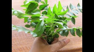 How To Store Curry Leaves Fresh For A Month In The Fridge - Kitchen Tips - Skinny Recipes