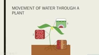 IGCSE BIOLOGY REVISION - [Syllabus 8] Plant transport