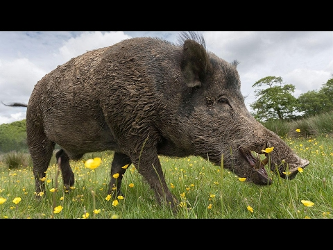 Extremely GRAPHIC Castrating a Wild Boar Turning a BOAR into a BAR