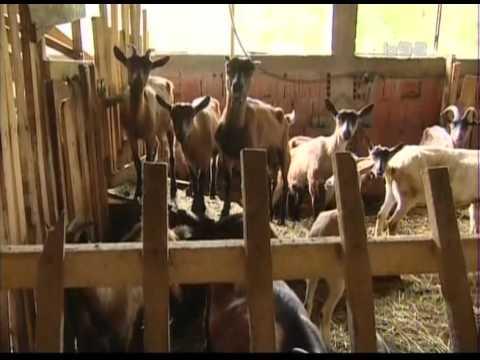 Najveca farma koza u Juznoj Srbiji jedina sa zaposlenim lekarom kao cobaninom